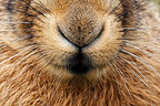 Close-up of the nose of a Brown hare GB (European Hare )