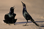 Common Grackle in courtship display (Common Grackle)