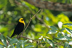 Yellow-hooded Blackbird (Yellow-hooded Blackbird)