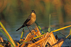 Rusty Blackbird male (Rusty Blackbird male)