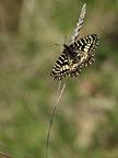 Southern Festoon on a grass France (Southern Festoon)