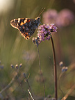 Painted Lady butterfly on a flower at dusk, France