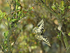 Swallowtail in flight between the branches of a Box tree