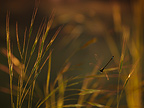 Blue-tailed Damselfly in flight over Grasses�France (Blue-tailed damselfly)