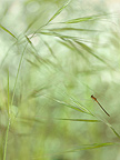Scarce Blue-tailed Damselfly in flight over Grasses�France (Scarce Blue-tailed Damselfly )