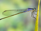 Scarce Blue-tailed Damselfly on leaf on pond bank France (Scarce Blue-tailed Damselfly )