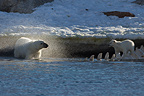 Female Polar bear and her cub on a dead whale Norway (Polar bear)