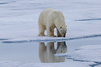 Polar bear on sea ice on the Norwegian island of Spitsbergn (Polar bear)