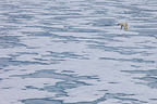 Polar bear walking on the ice on the island of Spitsbergen (Polar bear)