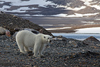 Polar bears on land in Svalbard Norway� (Polar bear)