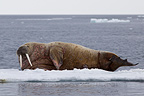 Walrus on the ice sea in Svalbard Norway (Walrus)