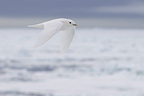 Ivory Gull in flight Spitsbergen Norway (Ivory Gull)