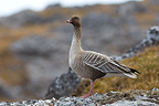 Pink-footed Goose Spitsbergen (Pink-footed Goose)