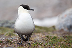 Long-tailed Jaeger on the Norwegian island of Spitsbergen (Long-tailed Jaeger )