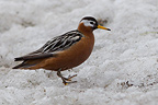 Red Phalarope on the Norwegian island of Spitsbergen (Red Phalarope)