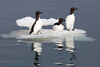 Thick-billed Guillemots on ice in Svalbard Norway (Thick-billed Guillemot)