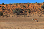 Springbok in the riverbed dry Auob South africa (Springbok)
