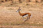 Springbok galloping in the riverbed Auob RSA (Springbok)