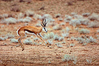 Springbok leaping to his knees at the same time (Springbok)