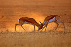 Two Springboks fighting in the Kgalagadi Park South africa (Springbok)