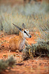 Young Springbok lying on the red soil of the desert RSA (Springbok)