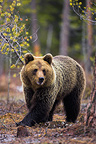 Brown bear looking for food in forest Finland (Brown bear)