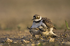 Little ringed plover hiding its chicks under its wings (Little ringed plover)