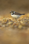 Little Ringed Plover in the middle of the gravel Calvados (Little ringed plover)