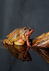 European common frogs mating in water UK
