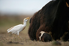 Cattle egret near a cow Spain