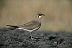Collared pratincole in mud Spain (Collared Pratincole)