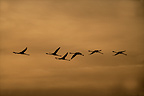 Silhouette of Flamingos in flight�France (Greater Flamingo)