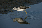 Greenshank walking in water Spain (Greenshank)