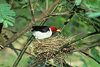 Red-capped Cardinal on nest (Red-capped Cardinal)