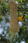 Yellow Oriole on nest (Yellow oriole)