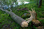 Tree felled by a beaver PN Färnebofjärden Sweden (European beaver)