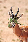 Springbok with vegetation wedged between the horns (Springbok)