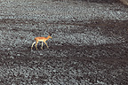 Impala male crossing a dried up pond PN Kruger RSA (Impala)