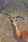 Impala male with a horn malformed PN Kruger RSA (Impala)