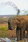 Elephant watered to a water point in the PN Kruger RSA (African elephant)