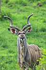 Greater Kudu in the PN Kruger RSA (Kudu)