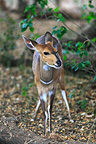 Bushbuck female in the Kruger NP RSA (Bushbuck)