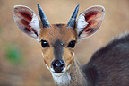 Portrait of a male Bushbuck in the Kruger NP RSA (Bushbuck)