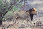 Lion marking his territory by urinating against a tree RSA (African lion)