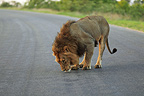 Lion smelling an odor on a road in the Kruger NP RSA (African lion)