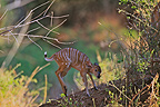 Small Nyala few days playing Kruger NP RSA� (Nyala)