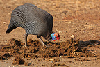 Helmeted Guineafowl seeking seeds in a dung Elephant RSA (Helmeted Guineafowl)