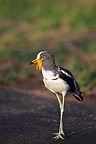 White-crowned Lapwing in the Kruger NP RSA� (White-crowned Lapwing)