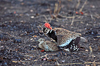 Mating of Red-crested Bustard in the Kruger NP RSA (Red-crested Bustard)