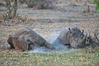 White Rhinoceros lying against one another Kruger NP RSA  (White rhinoceros)
